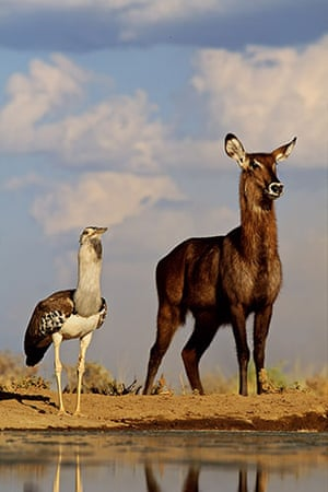 Great Rift Valley Kenya: Spectacular Pictures From Greg du Toit : female Waterbuck and Kori Bustard