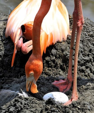 24 Hours in Pictures: A pink flamingo looks at one of ten eggs being incubated at the zoo in Cali
