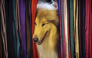 Crufts: A dog peeks through a selection of dog leads