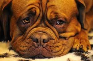 Crufts: A Dogue de Bordeaux