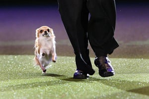 Crufts: Chico a chihuahua is put through his paces