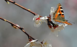 Week in wildlife: A butterfly rests on an almond blossom in an orchard at Badamwari, Kashmir