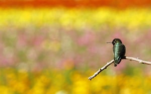 Week in wildlife: A hummingbird rests on a tree branch at the Flower Fields in Carlsbad
