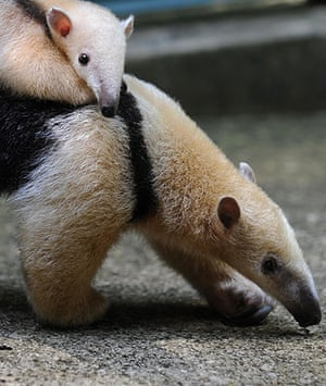 Week in wildlife: A female anteater carries her baby, Rio de Janeiro, Brazil