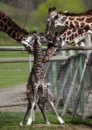 Week in wildlife: Malai baby giraffe