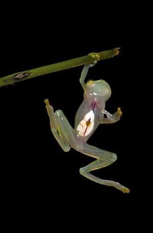 Week in wildlife: A glass frog from western Ecuador