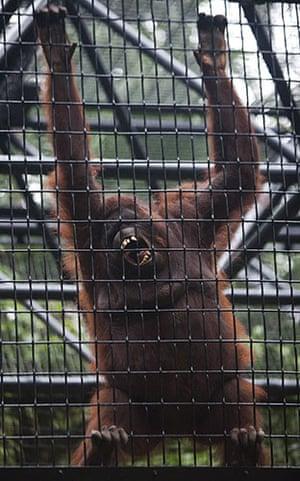 Week in wildlife: Orangutan at the Zoological and Botanical gardens in Hong Kon
