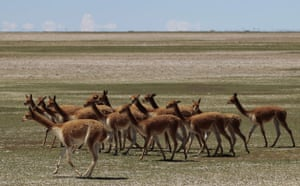 "Week in wildlife: Camelids, known as ""Vicunas"", gather near Salinas, Bolivia"