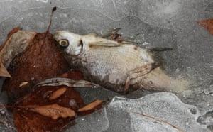 Week in wildlife: A dead fish lies in ice at frozen Lietzensee Lake Berlin, Germany