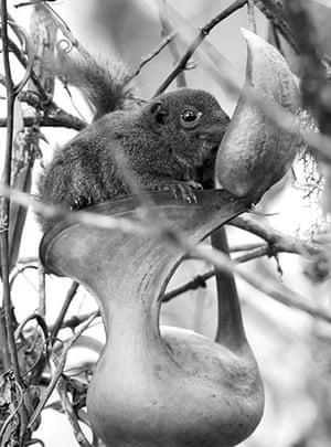Week in wildlife: the giant montane pitcher plant of Borneo feeds on tree shrews poo