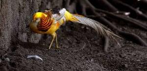 Week in wildlife: A golden pheasant
