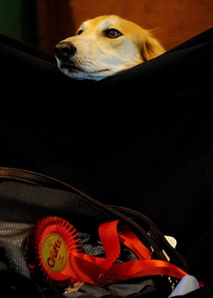 Crufts: Crufts 2010 A Saluki rests with it's very highly commended rosette