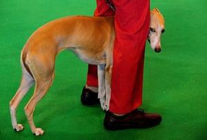 Crufts: Crufts 2010 A Whippet waits to be judged