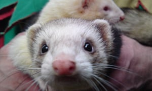 Christmas Ferret.Inseparable Ferrets To Marry At Christmas Uk News The