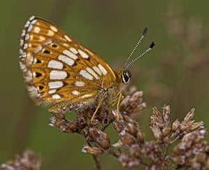 Butterfly IUCN red list: Duke of Burgundy butterfly