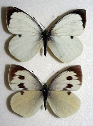 Butterfly IUCN red list: Madeiran Large White