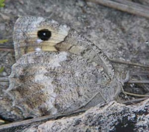 Butterfly IUCN red list: Macedonian Grayling