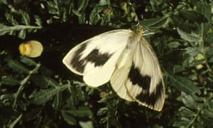 Butterfly IUCN red list: Canary Islands Large White