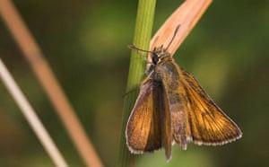 Butterfly IUCN red list: Lulworth Skipper butterfly