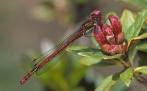 Butterfly IUCN red list: Pyrrhomosama nymphula