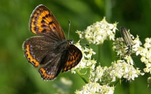 Butterfly IUCN red list: Violet Copper Lycaena helle