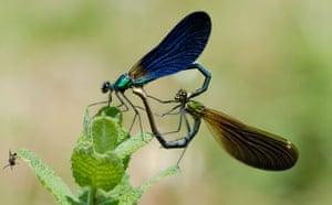 Butterfly IUCN red list: Calopteryx virgo meridionalis