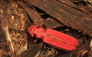 Butterfly IUCN red list: Cucujus cinnaberinus