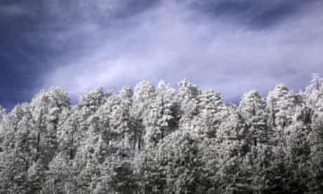 Snow covers Ponderosa pine trees along the Catalina Highway to Mt. Lemmon, ArizonaT