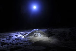 24 hours in pictures: An Olive Ridley turtle lays its eggs on the Rushikulya beach, India