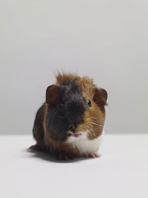 Tall tails: Guinea pig