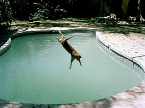 Tall tails: Cat falling into a swimming pool