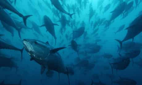Bluefin tuna, Spain