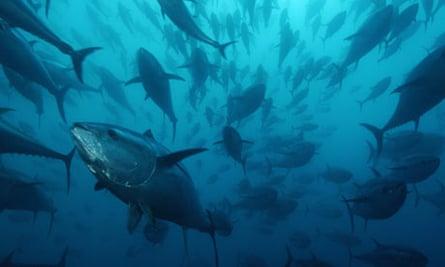 Bluefin tuna, Spain