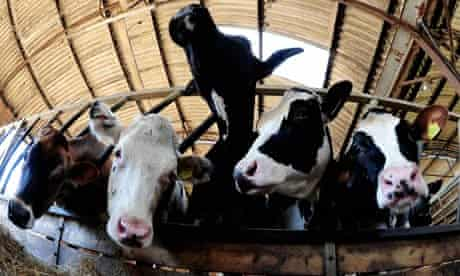 Cows in a cowshed