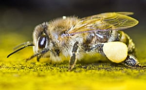 Week in Wildlife: Honey bee