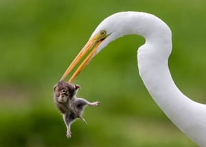 Week in Wildlife: Great egret catches a gopher, California, America - Mar 2010