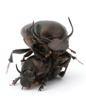 Week in Wildlife: Two grappling dung beetles