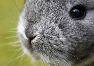 Week in Wildlife: Chinchilla rabbits in Moosburg, Germany