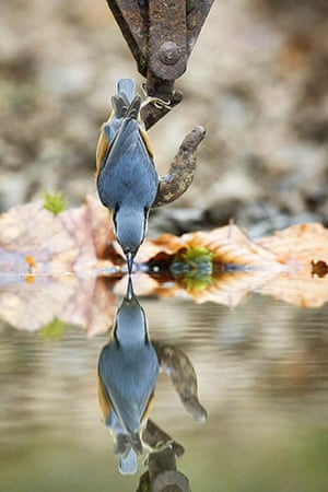 Week in Wildlife: A  Nuthatch is caught admiring its own reflection