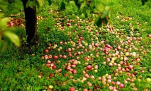 English cider apples