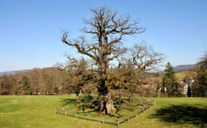 Week in Wildlife: The oldest oak tree in Europe, Chatillon, Switzerland - 24 Mar 2010