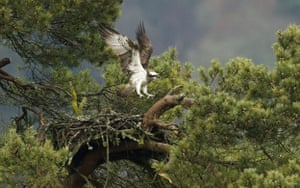 Week in Wildlife: A female Osprey returns to its nest in Loch of Lowes, Scotland