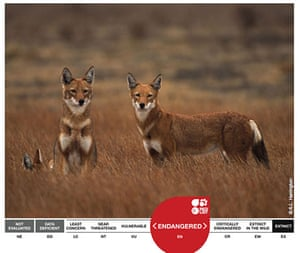 Week in Wildlife: The Ethiopian Wolf