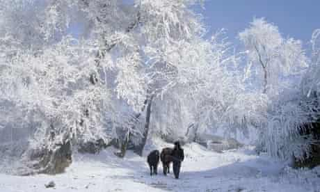 Man Leading Cattle Through Snowy Scene