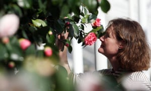 Middlemist's red camellia