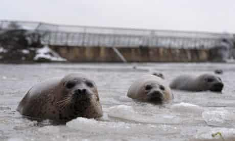 Spotted seals swim in a partly frozen lake at Dongpaotai Park in Yantai