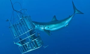 An encounter with a Great White Shark off the coast of Mexico