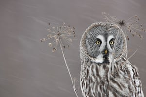 Wild Europe: A female great grey ow