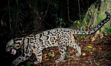 A clouded leopard in the Sipurak forest, in Indonesia
