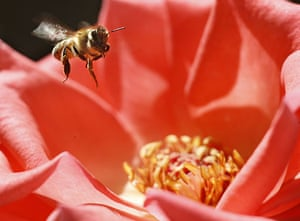 Week in Wildlife: A bee collects nectar from a flower at a public park in Amman